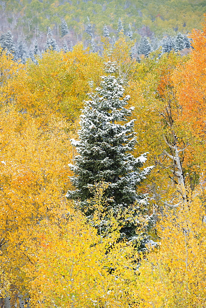 A tall pine tree among aspen trees in autumn colour, Uinta National Forest, Utah, United States