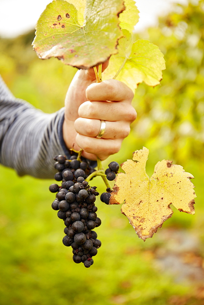 A person's hand holding the stem of a vine above a bunch of black grapes, England, United Kingdom