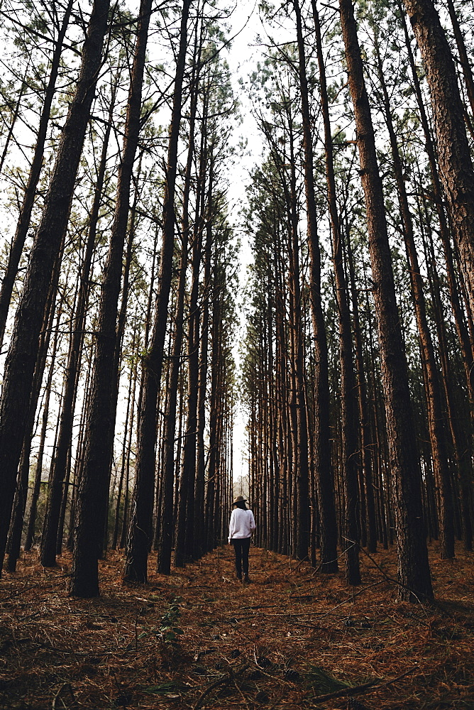 Person walking through a forest of pine trees in autumn.
