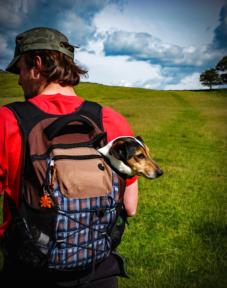 Rear view of a man carrying a Jack Russel in a backpack.