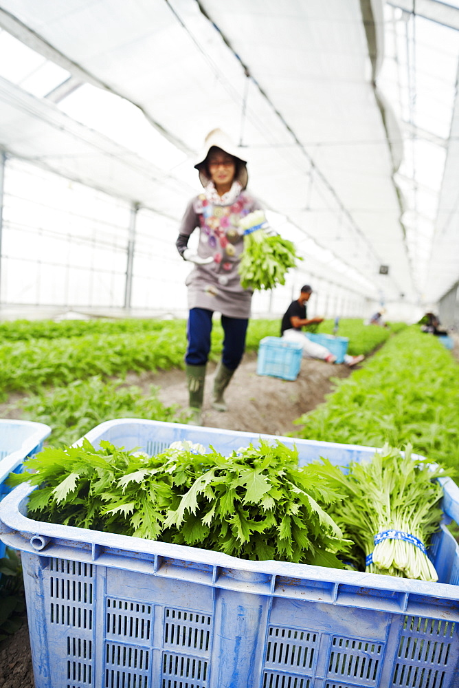 Worker in a greenhouse carrying harvested mizuna plants, also known as Japanese greens, Japan