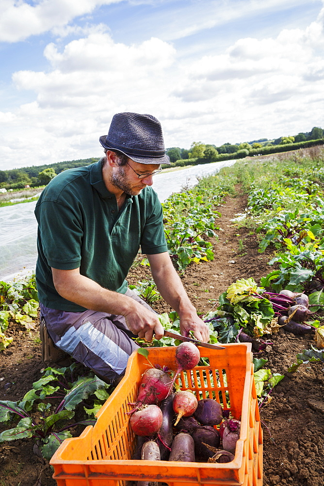 A man bending and harvesting beetroots in a field full of plants.