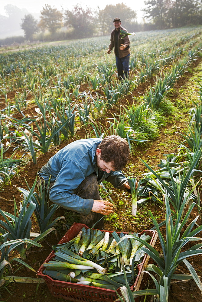 A woman and man working in the fields, harvesting cauliflowers.