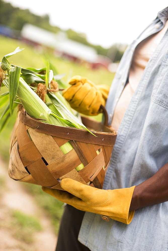 Working on an organic farm. A man holding a basket full of corn on the cob, vegetables freshly picked, Woodstock, New York, USA