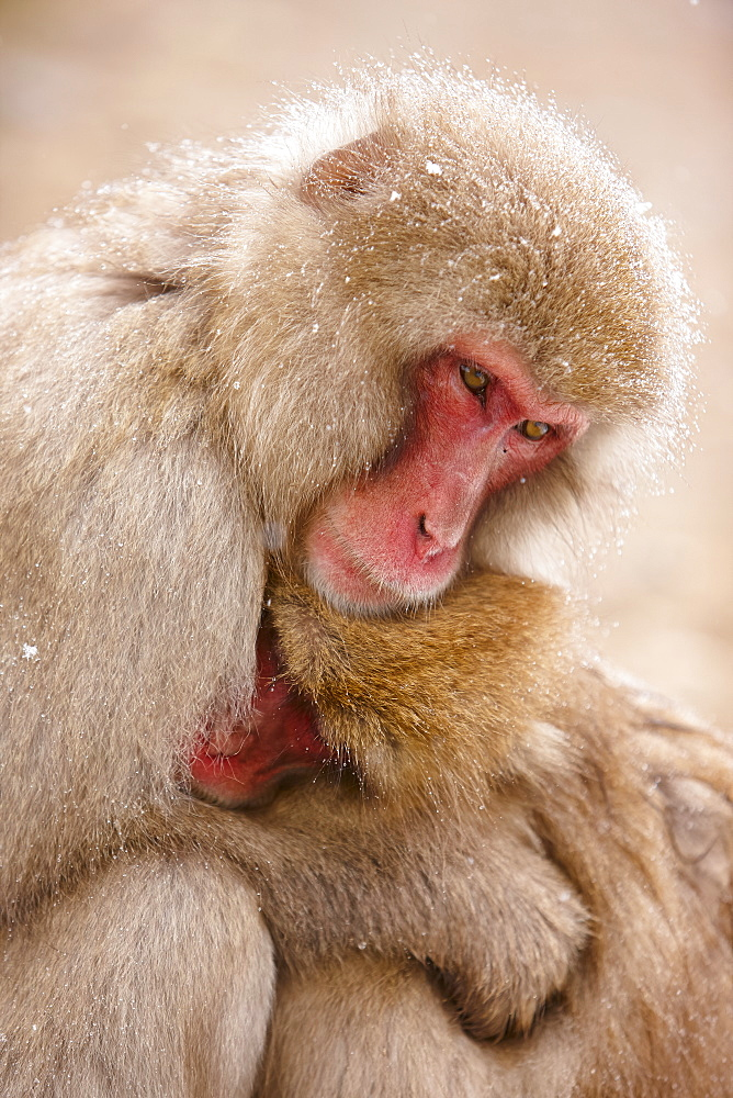 Close up of two Japanese Macaque, Snow Monkey, Macaca fuscata, huddling close together, Nagano, Japan - 1174-4462