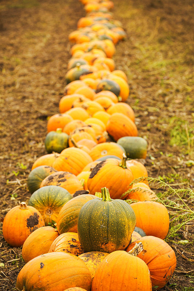 Rows of bright yellow, green and orange pumpkins harvested and left out to dry off in the fields in autumn, England, United Kingdom - 1174-4547