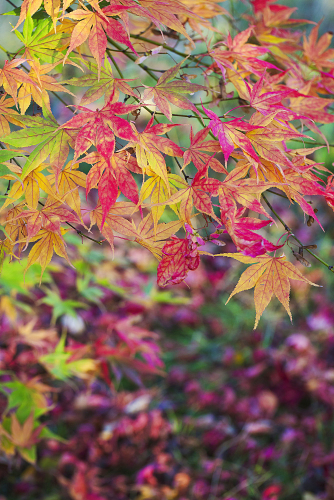 Autumn colours, foliage of an acer tree, Japanese maple with delicate palmate shapes, vivid colours, purple red yellow and green, England, United Kingdom