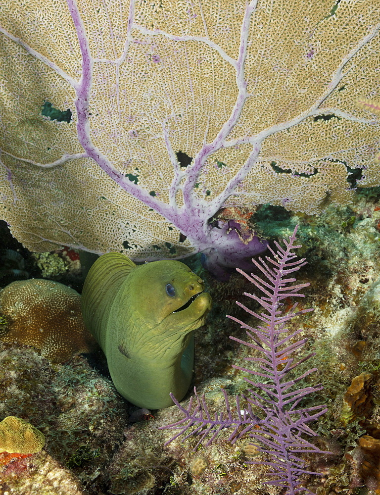 Green moray eel emerging from under a coral fan branch on coral reef. - 1174-4668