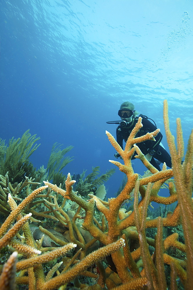 A scuba diver underwater.  Staghorn coral branches growing up from the reef. - 1174-4686