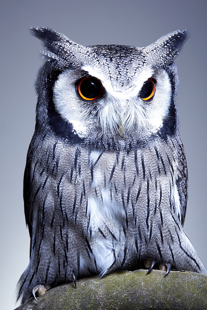 Studio portrait of a northern white faced owl (Ptilopsis leucotis) sanding on a branch, England