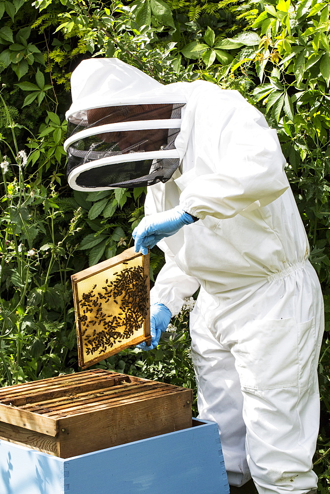 Beekeeper wearing protective suit at work, inspecting wooden beehive, England, United Kingdom - 1174-4785
