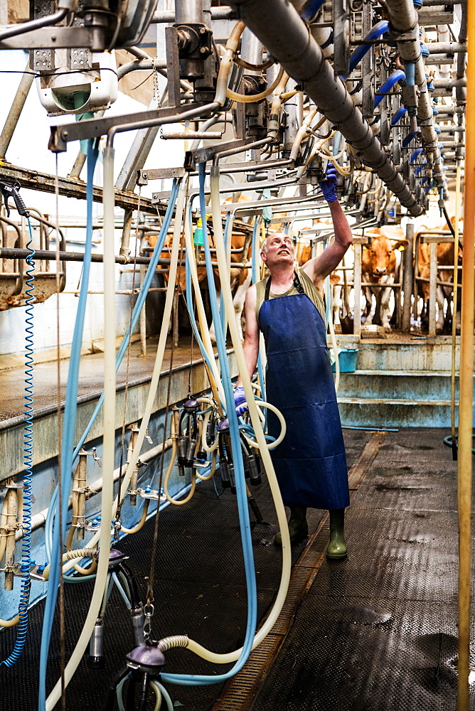 Man wearing apron standing in a milking shed, milking Guernsey cows, Buckinghamshire, England