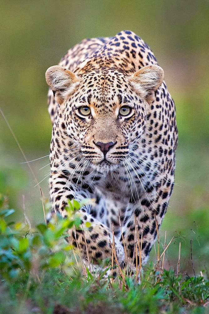 A leopard, Panthera pardus, alert, walks towards the camera  in stalking posture, with large green yellow eyes, Londolozi Game Reserve, Sabi Sands, Greater Kruger National Park, South Africa