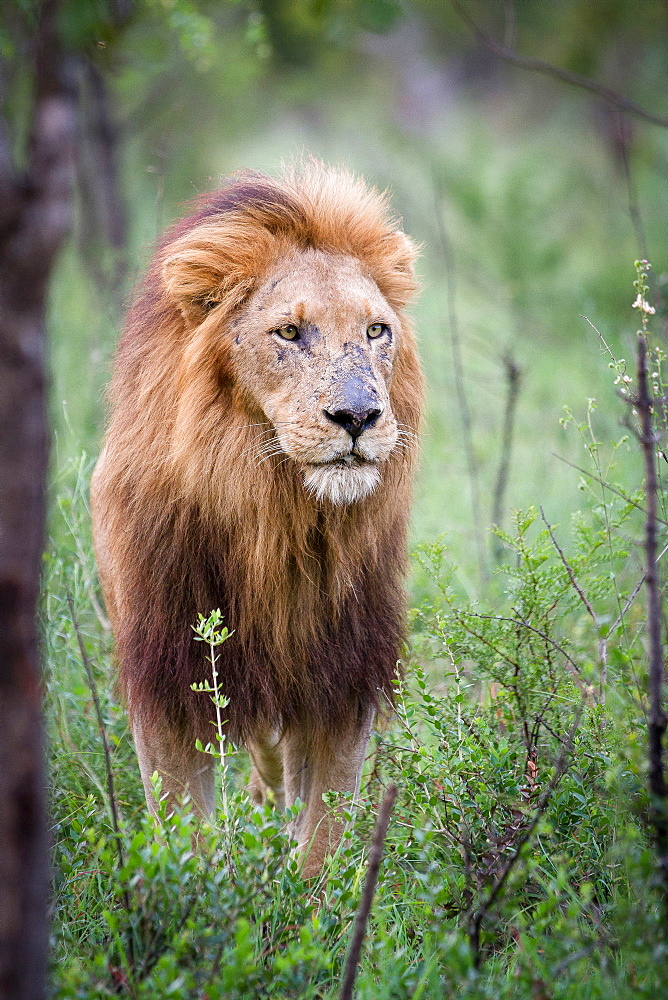 A male lion, Panthera leo, stands in green shrubs, looking away, scarred nose, thick mane, Londolozi Game Reserve, Sabi Sands, Greater Kruger National Park, South Africa - 1174-5009