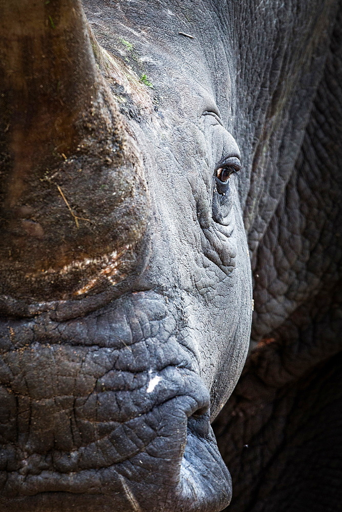 A rhino's head, Ceratotherium simum, direct gaze, Londolozi Game Reserve, Sabi Sands, Greater Kruger National Park, South Africa - 1174-5026