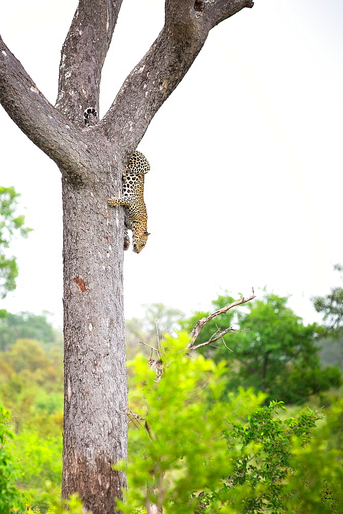 A leopard, Panthera pardus, climbs down a vertical tree, greenery in background and foreground, Londolozi Game Reserve, Sabi Sands, Greater Kruger National Park, South Africa