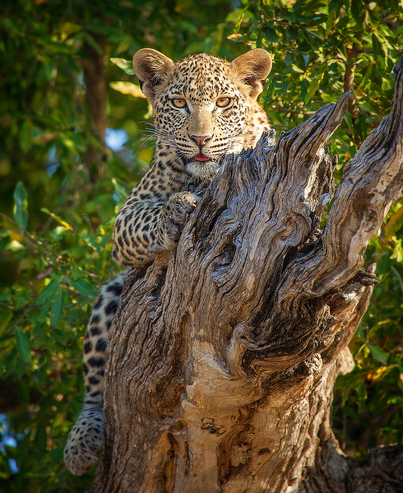 A leopard, Panthera pardus, lies on a dead branch, legs wrapped around log, alert, tongue out, Londolozi Game Reserve, Sabi Sands, Greater Kruger National Park, South Africa