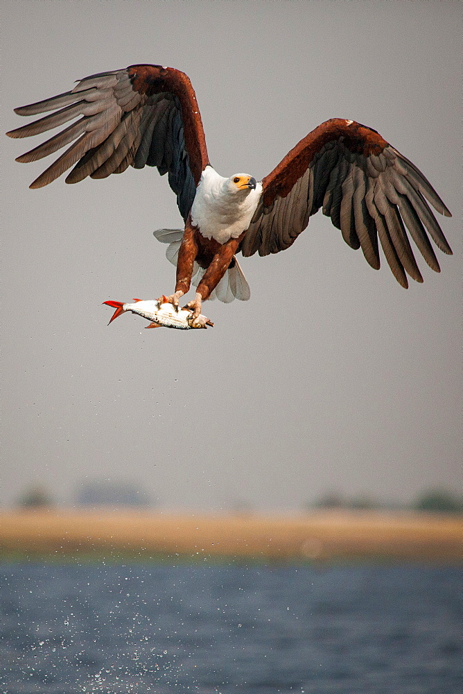 An African fish eagle, Haliaeetus Vocifer, flies over water, claws holding onto a fish, splashes of water in air, Londolozi Game Reserve, Sabi Sands, Greater Kruger National Park, South Africa