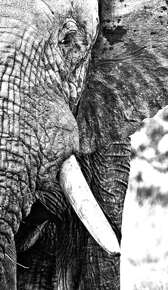 A close up of an elephant's head, Loxodonta africana, in black and white, Londolozi Game Reserve, Sabi Sands, Greater Kruger National Park, South Africa