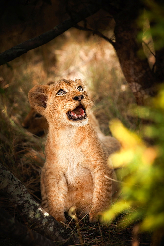 A lion cub, Panthera leo, sits down, looks away, open mouth, Londolozi Game Reserve, Sabi Sands, Greater Kruger National Park, South Africa