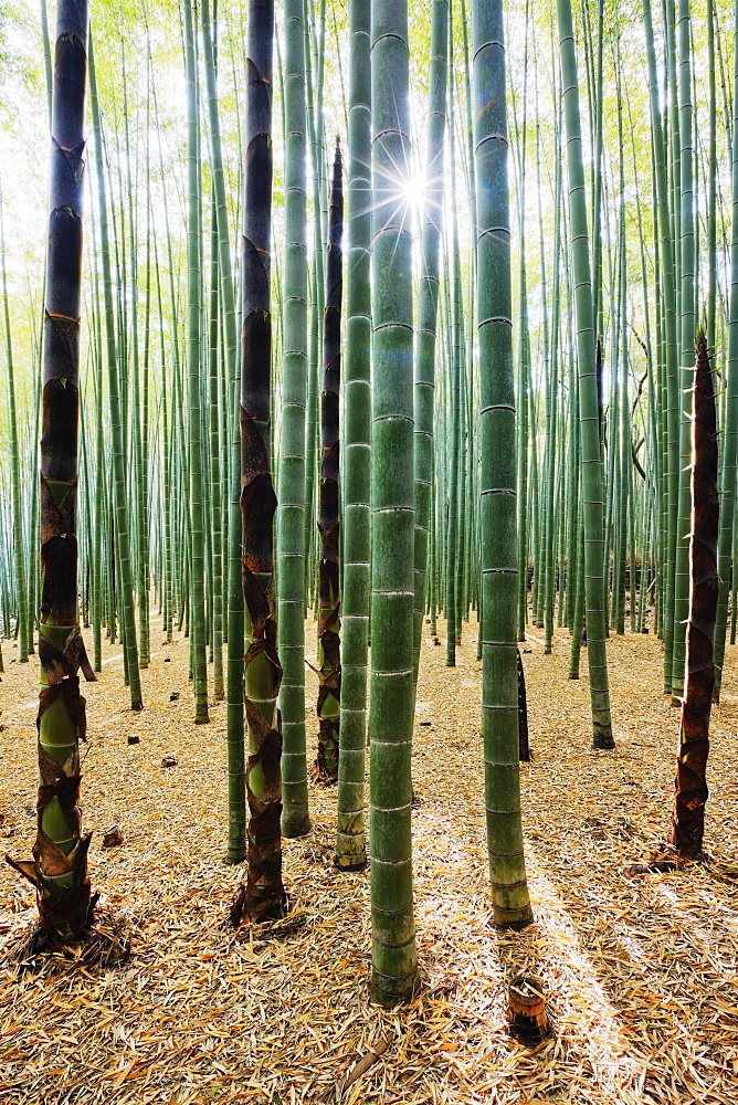 Bamboo Forest, Kyoto, Japan - 1174-5605