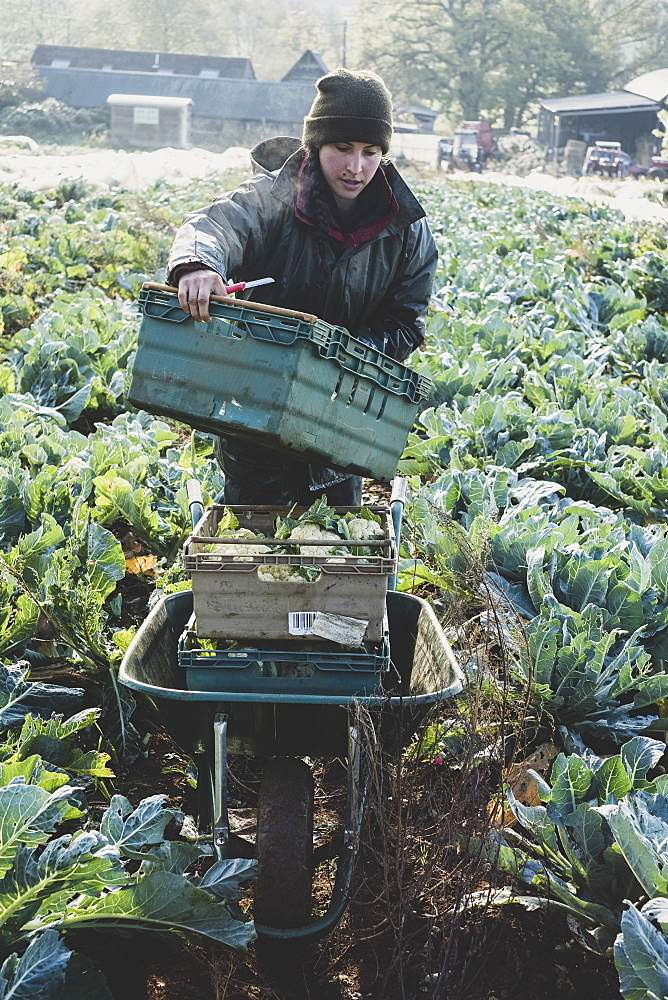 Woman standing in field, carrying plastic crate, harvesting cauliflowers, Oxfordshire, England