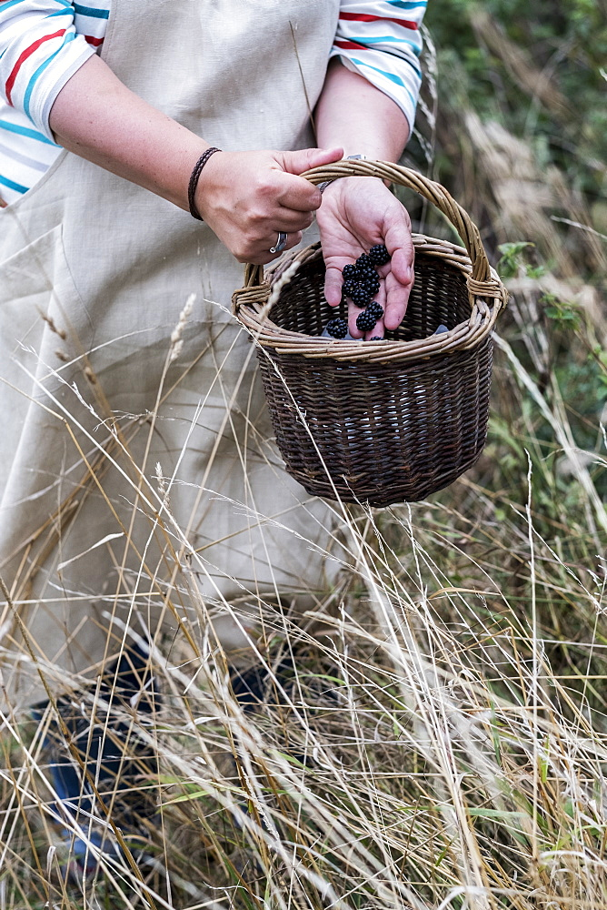 Close up of person wearing apron holding brown wicker basket, full of picked blackberries, Oxfordshire, England