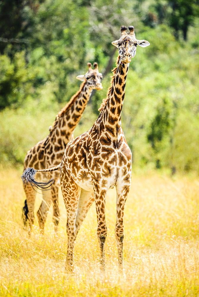 Giraffes walking in savanna, Kenya, Africa