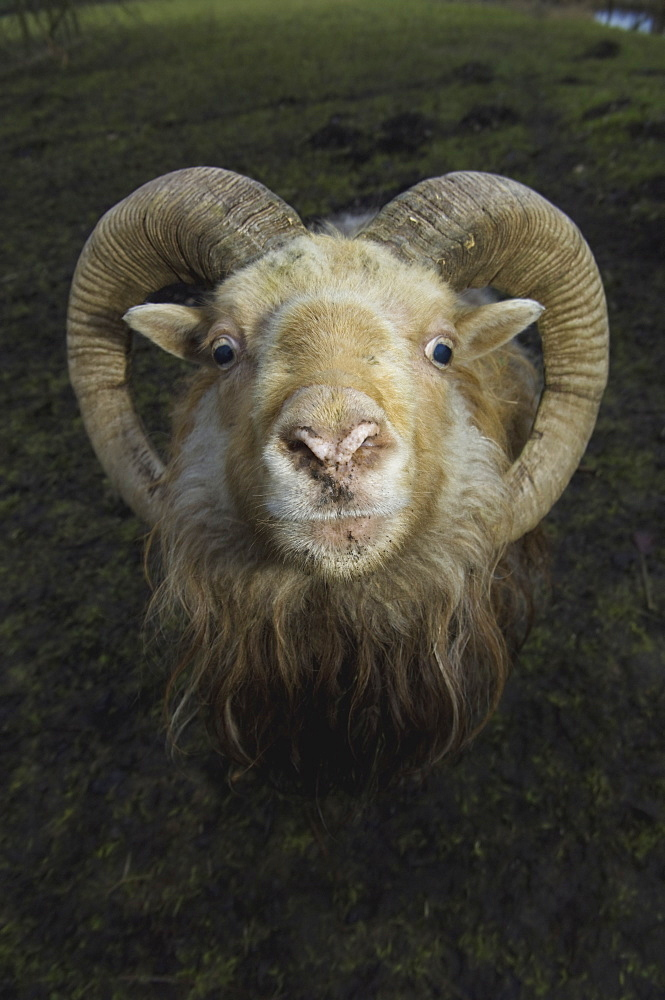 A ram with curved horns on a farm, Gloucestershire, England