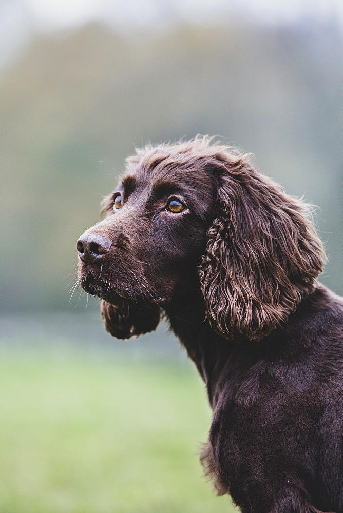 Close up of Brown Spaniel dog sitting in a field, Oxfordshire, England