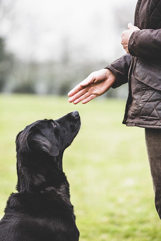Close up of a dog trainer giving a hand command to Black Labrador dog, Oxfordshire, England