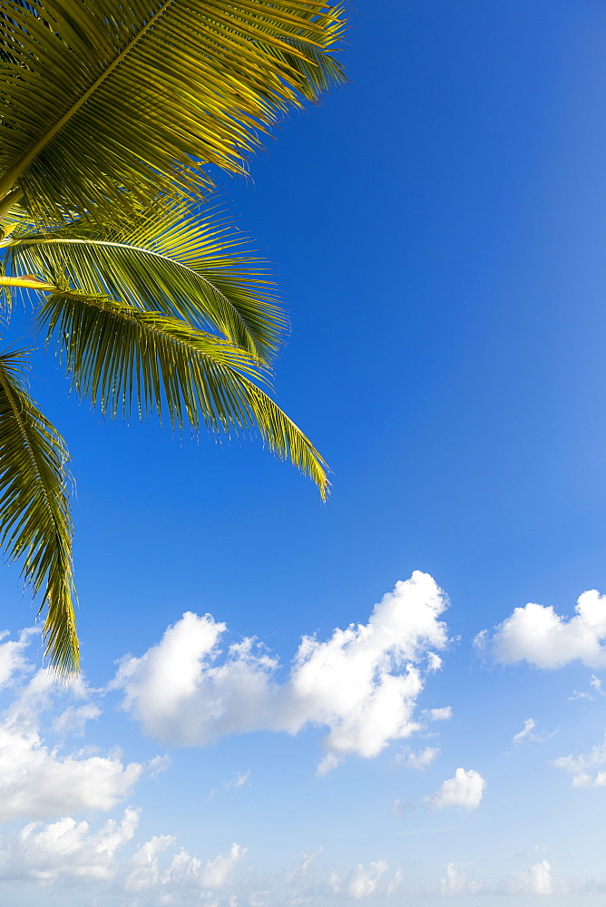 A palm tree and blue sky with light clouds, Grand Cayman, Cayman Islands