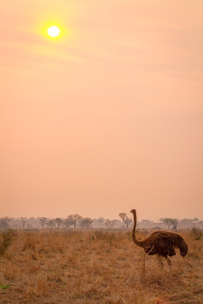 An ostrich, Struthio camelus, stands in brown grass at sunset, Londolozi Game Reserve, Sabi Sands, Greater Kruger National Park, South Africa - 1174-7102