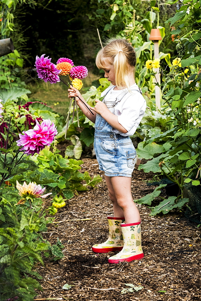 Blond girl standing in a garden, picking pink Dahlias
