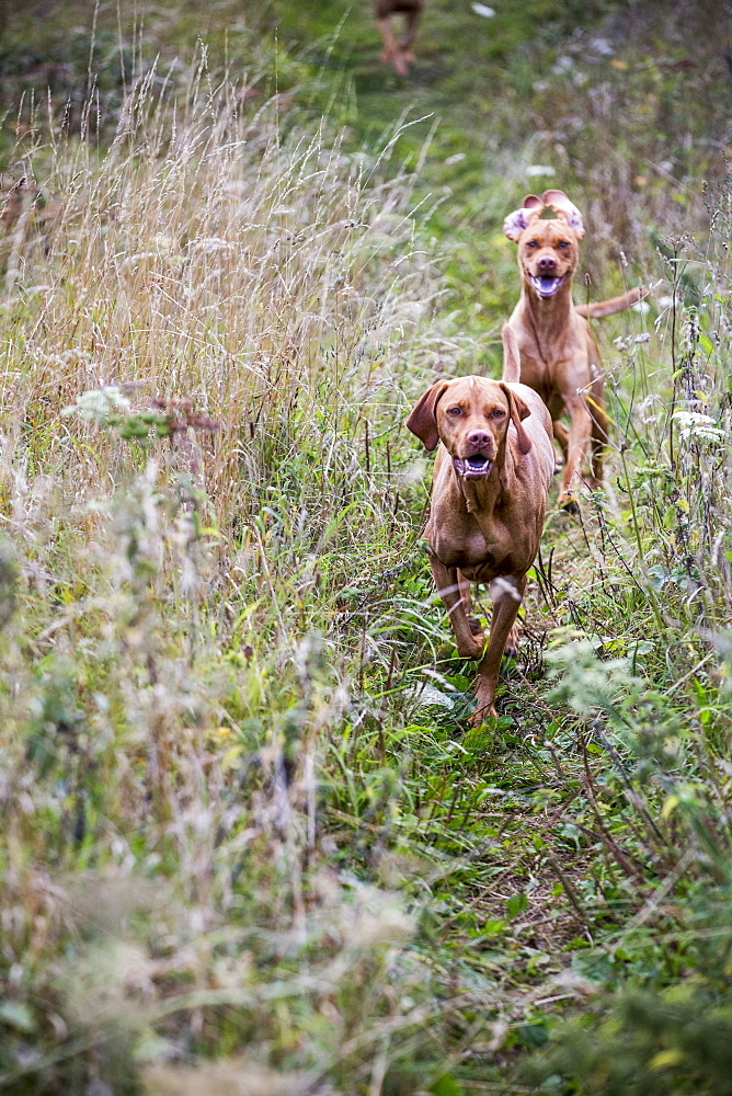 Portrait of two Vizla dogs on a meadow