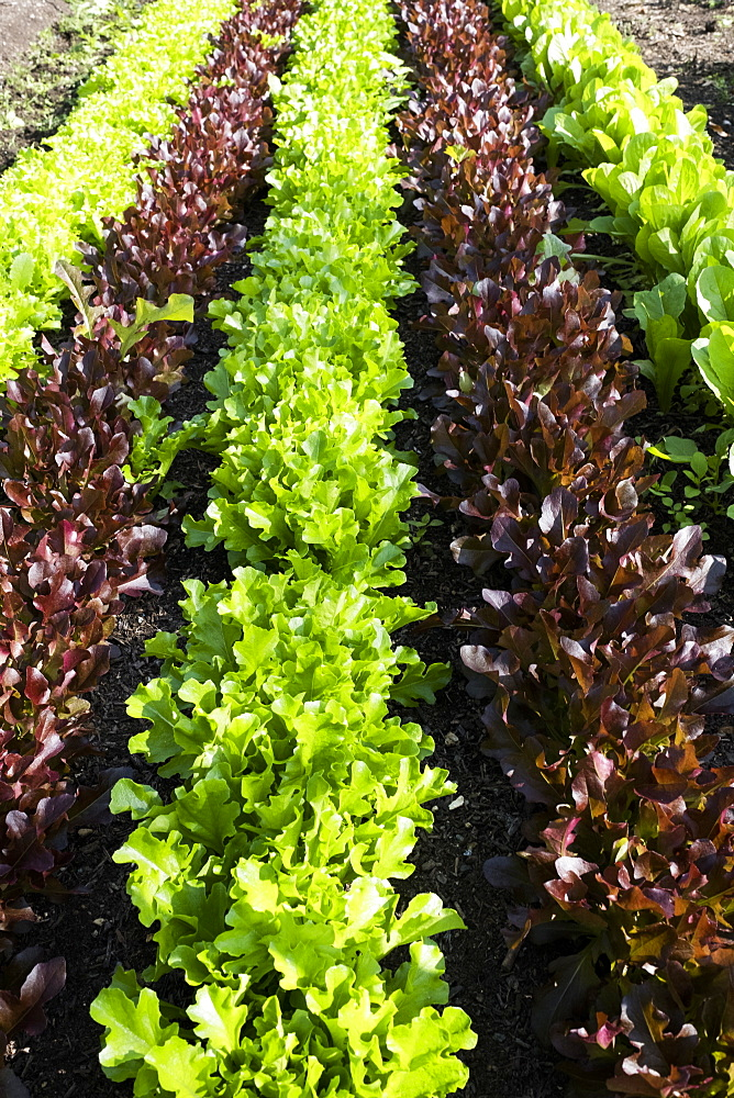 High angle close up of rows of different varieties of green and red lettuce