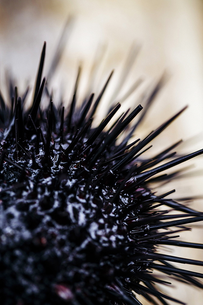 High angle close up fresh uni, sea urchin, Japan