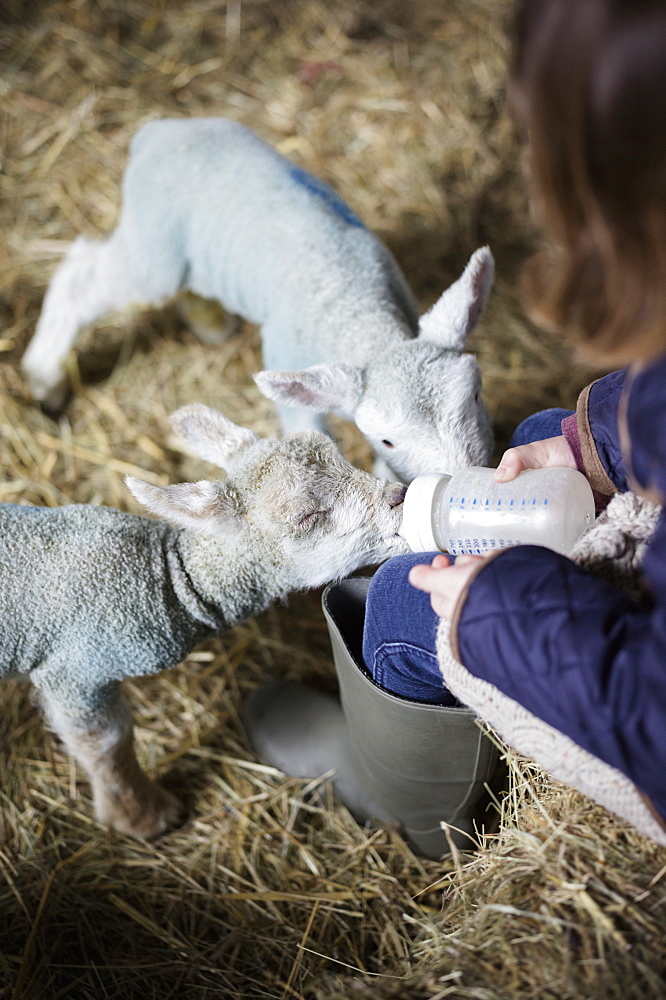 A girl bottle feeding a small hungry lamb, Wimborne, Dorset, England