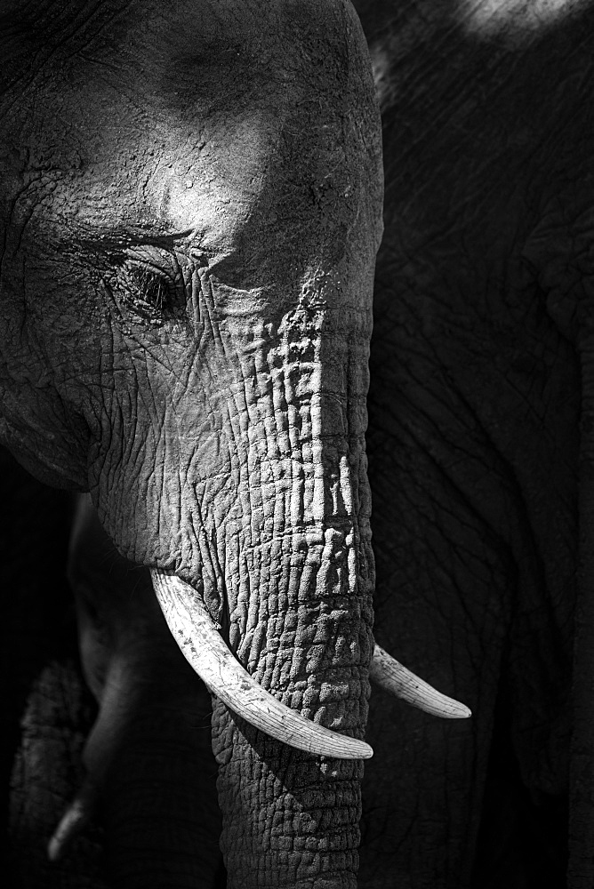A side profile of an elephant's head, Loxodonta africana, looking out of frame, in black and white, Londolozi Game Reserve, Greater Kruger National Park, South Africa