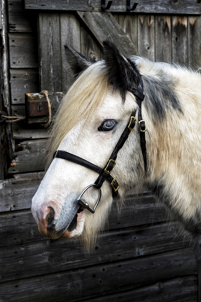 Close up of white Cob horse standing outside stable, Berkshire, United Kingdom