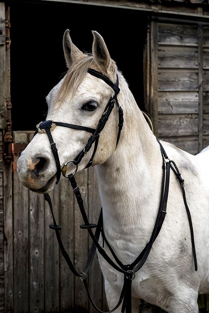 White Cob horse standing outside stable, Berkshire, United Kingdom