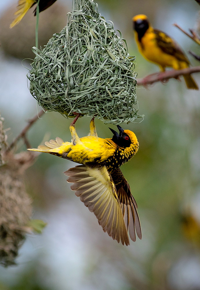A village weaver bird, Ploceus cucullatus, hangs upside down on its nest, wings spread, Londolozi Game Reserve, Sabi Sands, South Africa