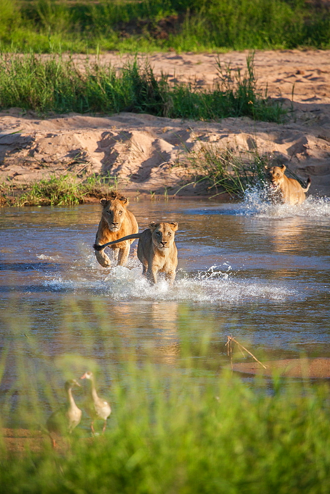 A pride of lions, Panthera leo, run through a river, Londolozi Game Reserve, Sabi Sands, South Africa