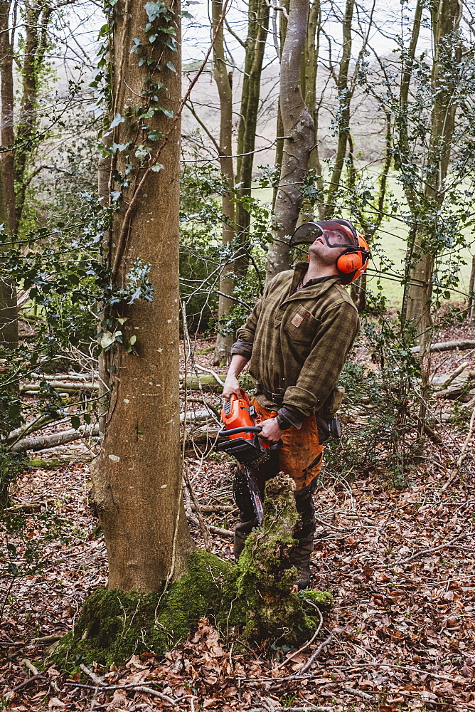 Man wearing safety gear using chainsaw to fell tree in a forest, Devon, United Kingdom