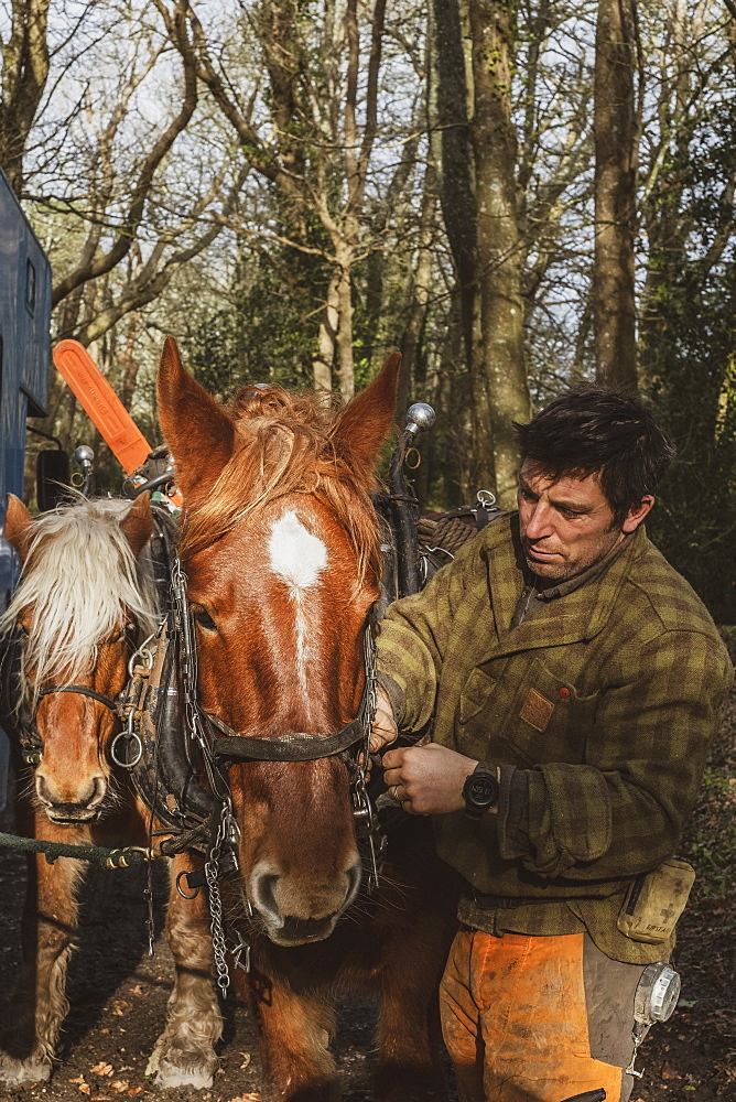 Logger standing in forest, fastening the harness on one of his work horses, Devon, United Kingdom
