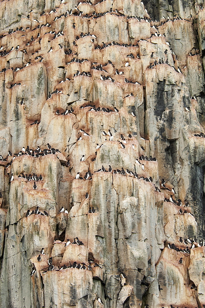 Thick-billed Murres, Brunnich's Guillemots, nesting on a steep cliff site, near Svalbard in Norway, Svalbard, Norway