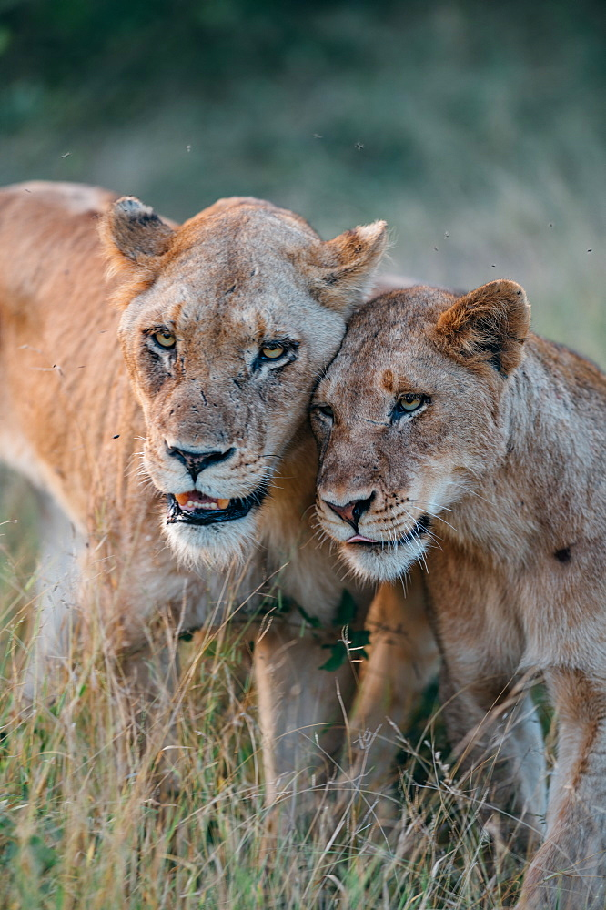 A lioness, Panthera leo, bumps heads with one of her cubs, looking out of frame, Sabi Sands, Greater Kruger National Park, South Africa