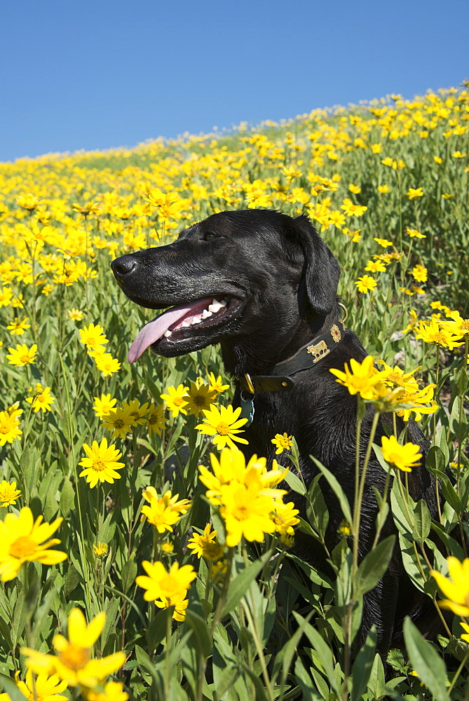 A black Labrador dog in a meadow of bright yellow wildflowers, Wasatch National Forest, Utah, USA