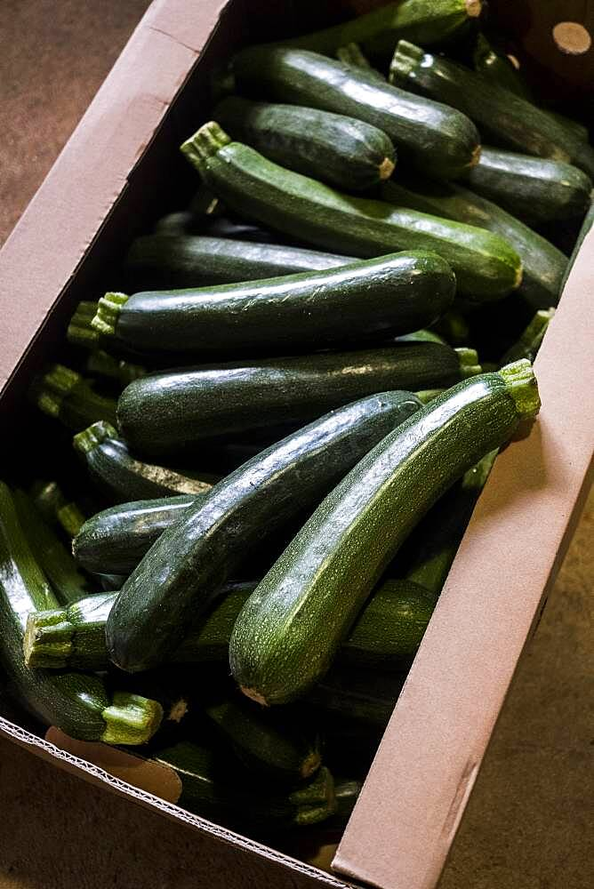 High angle close up of box of freshly picked courgettes, Oxfordshire, United Kingdom - 1174-9857