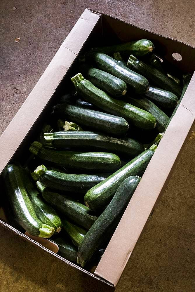 High angle close up of box of freshly picked courgettes, Oxfordshire, United Kingdom - 1174-9859